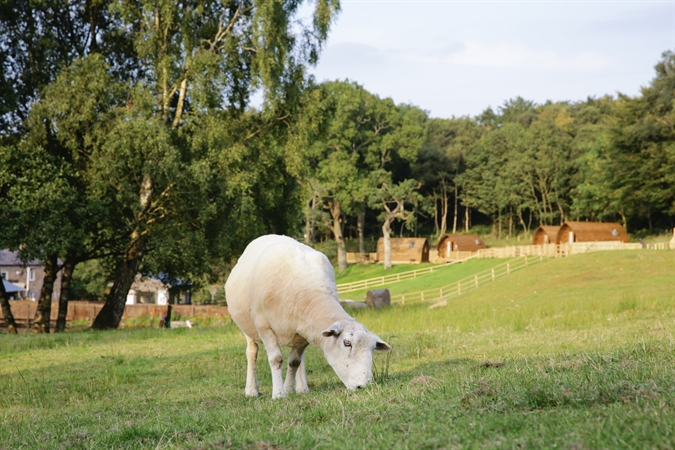 Sheep at Wigwam® Holidays Brampton