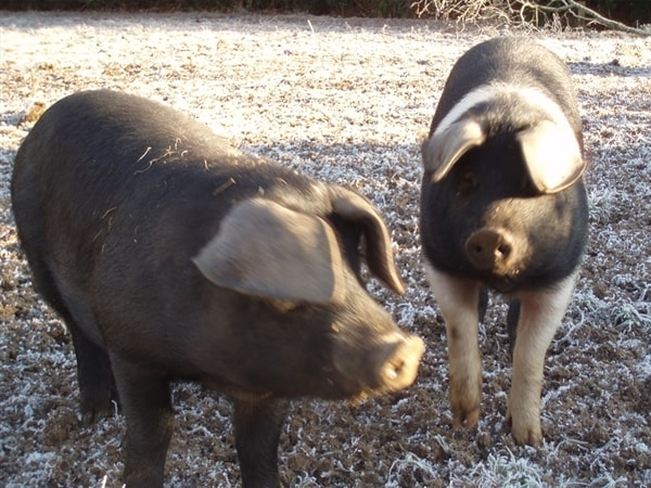 The Pigs at Ruthern Valley